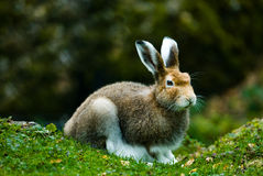 Mountain hare. (lat. Lepus timidus) in autumn sitting in the woods, focus is on the eyes Royalty Free Stock Photos