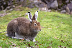 Mountain Hare. A closeup view of a Mountain Hare. Species: Lepus timidus Stock Photos