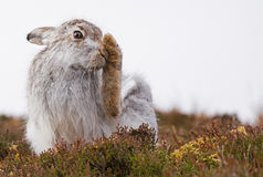 Mountain Hare Grooming Lepus Timidus Stock Image