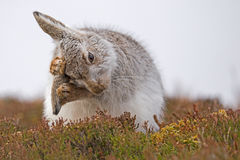 Mountain Hare Grooming Lepus Timidus Royalty Free Stock Images