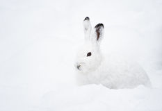 Mountain Hare (lat. Lepus timidus) royalty free stock image