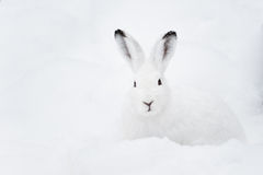 Mountain Hare (lat. Lepus timidus). With white fur sitting in snow in winter royalty free stock photo