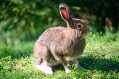 Mountain Hare (lat. Lepus timidus) Royalty Free Stock Photo