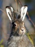 Mountain Hare (Lepus timidus). Portrait of Mountain hare (Lepus timidus) shot in the wilderness of northern sweden stock photography