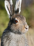 Mountain Hare (Lepus timidus). Portrait of Mountain hare (Lepus timidus) shot in the wilderness of northern sweden royalty free stock photography