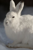 Mountain Hare - (Lepus timidus). Mountain Hare sitting on snow Stock Images