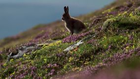 Mountain hare, Lepus timidus, amongst ling purple heather on a mountain slope in cairngorms NP, scotland during july. Mountain hare, Lepus timidus, amongst ling stock footage