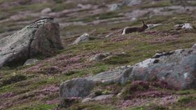 Mountain hare, Lepus timidus, amongst ling purple heather on a mountain slope in cairngorms NP, scotland during july. Mountain hare, Lepus timidus, amongst ling stock video