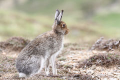 Mountain Hare Lepus timidus in the highlands of Scotland in its summer brown coat. A Mountain Hare Lepus timidus in the highlands of Scotland in its summer stock image