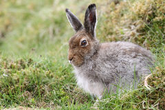 Mountain Hare Lepus timidus in the highlands of Scotland taking shelter in a `form`, which is simply a shallow depression in th. A Mountain Hare Lepus timidus in stock image