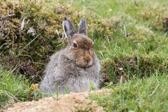 Mountain Hare Lepus timidus in the highlands of Scotland taking shelter in a `form`, which is simply a shallow depression in th. A Mountain Hare Lepus timidus in stock photo