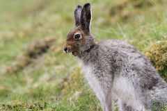 Mountain Hare Lepus timidus in the highlands of Scotland yawning. Stock Photo