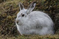 Mountain Hare Lepus timidus  in its winter white coat, high up in the Scottish mountains . Royalty Free Stock Photography