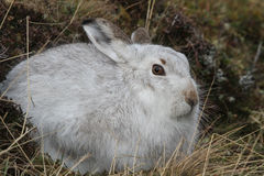 Mountain Hare Lepus timidus  in its winter white coat, high up in the Scottish mountains . Royalty Free Stock Photos