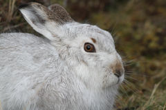 Mountain Hare Lepus timidus  in its winter white coat, high up in the Scottish mountains . Stock Photos