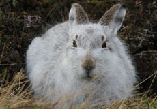 Mountain Hare Lepus timidus  in its winter white coat, high up in the Scottish mountains . Stock Photo