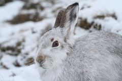 Mountain Hare Lepus timidus   in its winter white coat in a snow blizzard high in the Scottish mountains. Stock Photography