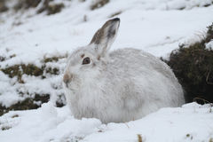 Mountain Hare Lepus timidus   in its winter white coat in a snow blizzard high in the Scottish mountains. Stock Photos
