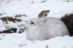 Mountain Hare Lepus timidus   in its winter white coat in a snow blizzard high in the Scottish mountains. Stock Photo