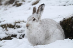 Mountain Hare Lepus timidus   in its winter white coat in a snow blizzard high in the Scottish mountains. Royalty Free Stock Photography