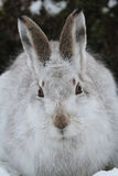 Mountain Hare Lepus timidus in its winter white coat in the snow, high in the scottish mountains. A Mountain Hare Lepus timidus in its winter white coat, in the royalty free stock photo
