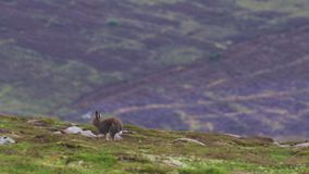 2 Mountain hare, Lepus timidus, in july running and feeding on a slope, cairngorm NP, scotland. 2 Mountain hare, Lepus timidus, in july running and feeding on a stock video