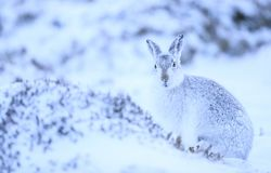Mountain hare lepus timidus. Photograph taken in the cairngorms in scotland during a snowy day stock photos