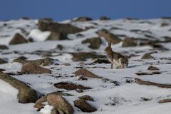 Mountain Hare, Lepus timidus, during October still in summer coat surrounded by snow in the cairngorms NP, scotland. royalty free stock image