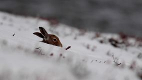 Mountain Hare, Lepus timidus, during October still in summer coat surrounded by snow in the cairngorms NP, scotland. Mountain Hare, Lepus timidus, during stock footage