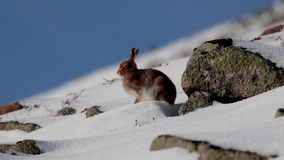 Mountain Hare, Lepus timidus, during October still in summer coat surrounded by snow in the cairngorms NP, scotland. stock footage