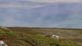 Mountain hare, Lepus timidus, resting, hiding amongst the summer purple heather on a slope in the cairngorm NP, scotland. stock footage