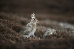Mountain hare, Lepus timidus Stock Image