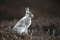 Mountain hare, Lepus timidus Stock Photo