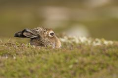 Mountain hare, lepus timidus, sitting, hiding on low lying heather in summer, june on a mountain in the cairngorms national park. stock photo