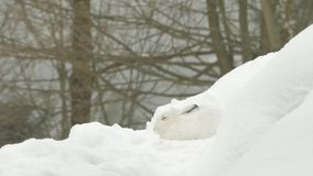 Mountain hare (Lepus timidus) in the snow. stock video