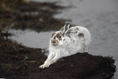 Mountain hare, Lepus timidus Royalty Free Stock Photo