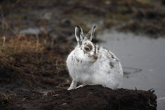 Mountain hare, Lepus timidus Royalty Free Stock Photography