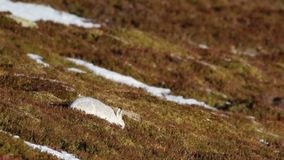 Mountain hare, Lepus timidus, wild in group and mad march behaviour, february in the cairngorms national park, scotland, blue hare. White on heather stock video