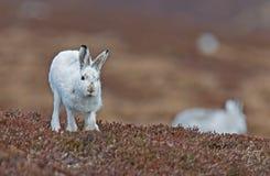 Mountain Hare Running Towards Camera