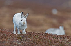 Mountain Hare running towards camera. Mountain hare in white coat running directly towards the photographer, looking ahead. March 2017 Stock Image