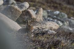 Mountain hare sitting on mountain side. In scotland Royalty Free Stock Photography