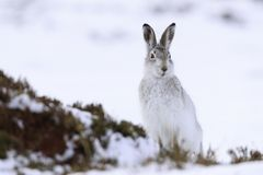 Free Mountain Hare Sitting On White Snow Royalty Free Stock Photography - 164005427
