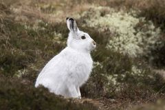 Mountain hare with winter coat in mixture of snow and bare ground stock photo