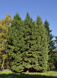 Mountain Hemlock Stock Images