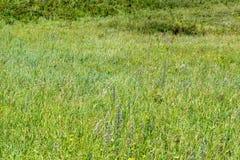Mountain herbage. Wild grass. Mountain herbage in East Kazakhstan. Beautiful landscape Royalty Free Stock Photo