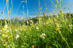 Mountain herbs and flowers. Spring meadow with mountain herbs and flowers, green grass Royalty Free Stock Photos