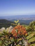 Mountain highbush berries Stock Photos