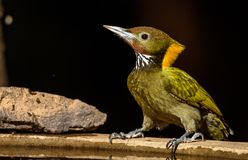 Greater yellow nape woodpecker. Mountain hills Himalayan nectar fruits branch green yellow birds Royalty Free Stock Photos