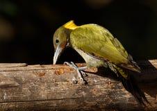 Greater yellow nape woodpecker. Mountain hills Himalayan nectar fruits branch green yellow birds Stock Photos