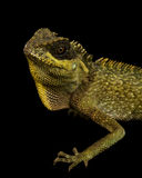 Mountain Horned Lizard (Acanthosaura crucigera) Stock Photography